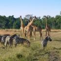 Standoff in Africa: Zebras vs Giraffes