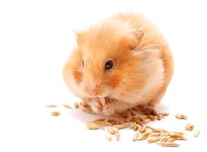 ginger hamster