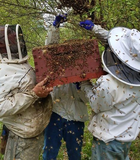 Apiary swarms, May 2019